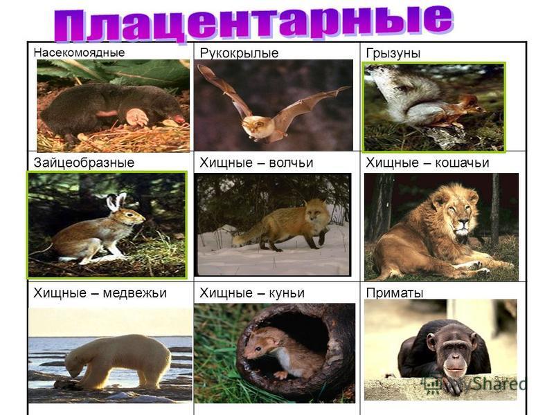 Млекопитающие делятся на Подклассы Яйцекладущие Число видов-2 Сумчатые Число видов 180 Плацентарные Число видов 4.5 тыс.