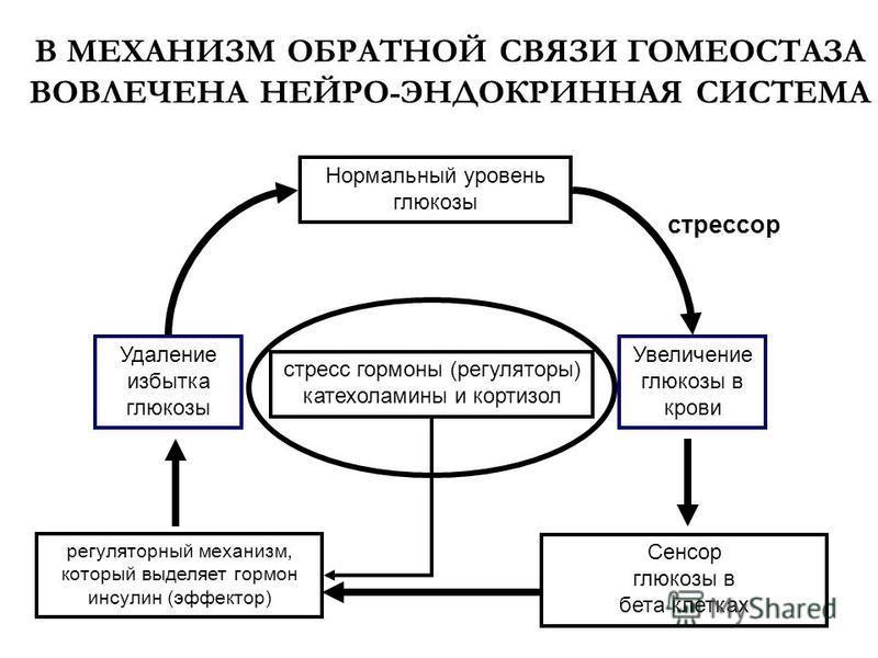 В МЕХАНИЗМ ОБРАТНОЙ СВЯЗИ ГОМЕОСТАЗА ВОВЛЕЧЕНА НЕЙРО-ЭНДОКРИННАЯ СИСТЕМА регуляторный механизм, который выделяет гормон инсулин (эффектор) Удаление избытка глюкозы Увеличение глюкозы в крови стресс гормоны (регуляторы) катехоламины и кортизол стрессо