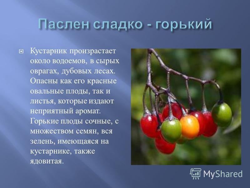 Кустарник произрастает около водоемов, в сырых оврагах, дубовых лесах. Опасны как его красные овальные плоды, так и листья, которые издают неприятный аромат. Горькие плоды сочные, с множеством семян, вся зелень, имеющаяся на кустарнике, также ядовита