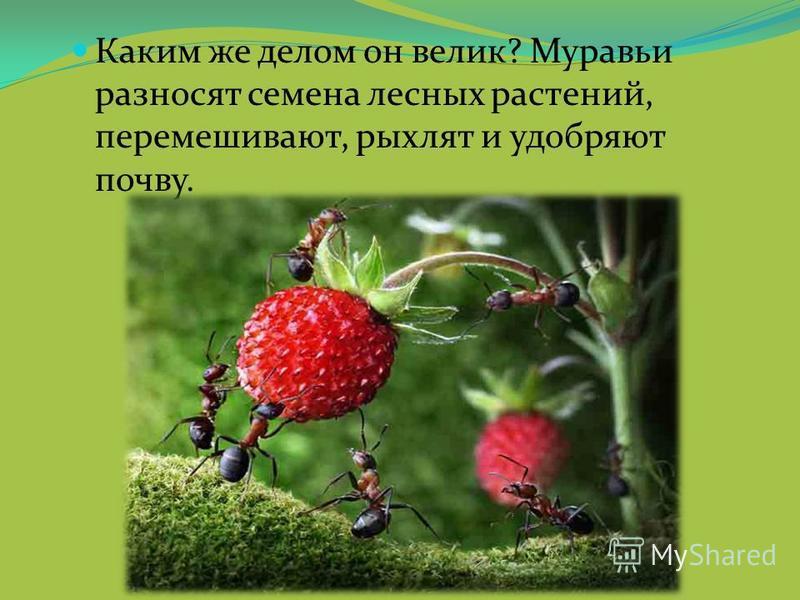 Каким же делом он велик? Муравьи разносят семена лесных растений, перемешивают, рыхлят и удобряют почву.