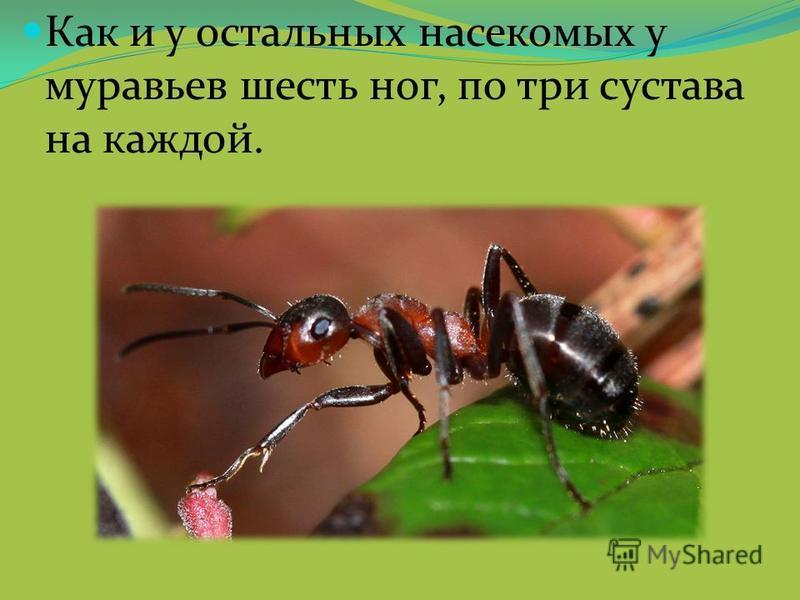 Как и у остальных насекомых у муравьев шесть ног, по три сустава на каждой.