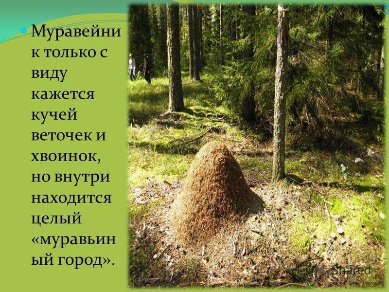 Муравейни к только с виду кажется кучей веточек и хвоинок, но внутри находится целый «муравьиный город».