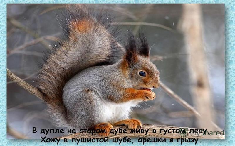 В дупле на старом дубе живу в густом лесу, Хожу в пушистой шубе, орешки я грызу.