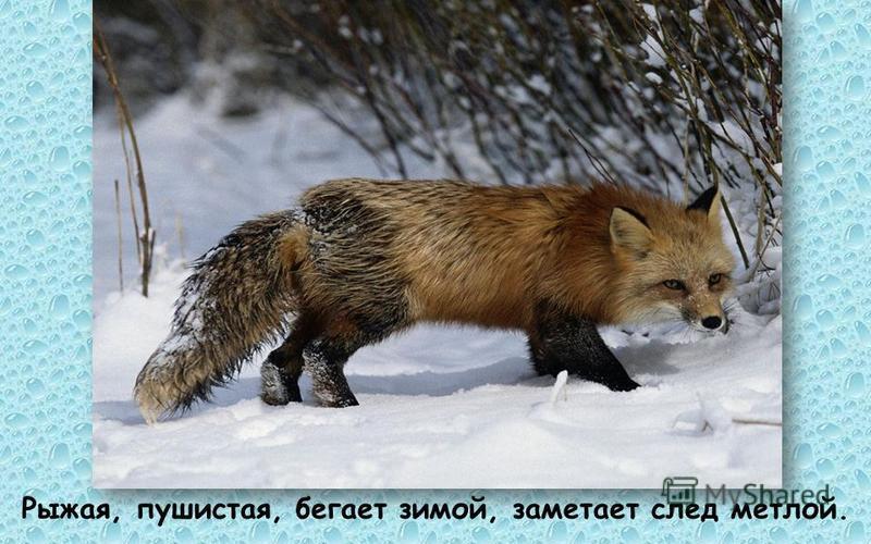 Рыжая, пушистая, бегает зимой, заметает след метлой.
