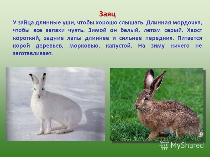 Заяц У зайца длинные уши, чтобы хорошо слышать. Длинная мордочка, чтобы все запахи чуять. Зимой он белый, летом серый. Хвост короткий, задние лапы длиннее и сильнее передних. Питается корой деревьев, морковью, капустой. На зиму ничего не заготавливае