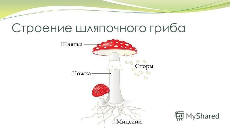 Строение шляпочного гриба Споры Мицелий Шляпка Ножка