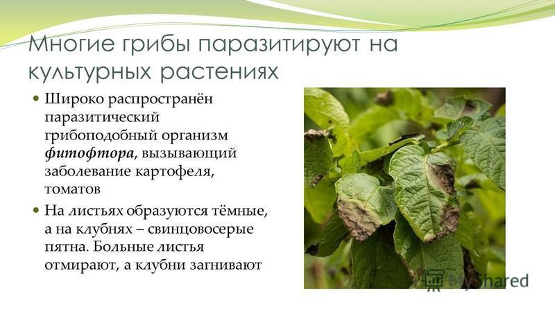 Многие грибы паразитируют на культурных растениях Широко распространён паразитический грибок подобный организм фитофтора, вызывающий заболевание картофеля, томатов На листьях образуются тёмные, а на клубнях – свинцово серые пятна. Больные листья отми