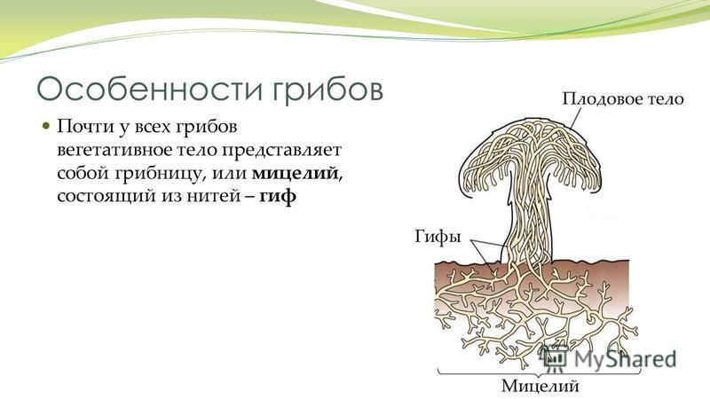 Особенности грибов Почти у всех грибов вегетативное тело представляет собой грибницу, или мицелий, состоящий из нитей – гиф Плодовое тело Мицелий Гифы