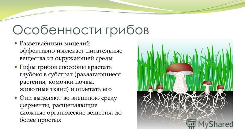 Особенности грибов Разветвлённый мицелий эффективно извлекает питательные вещества из окружающей среды Гифы грибов способны врастать глубоко в субстрат (разлагающиеся растения, комочки почвы, животные ткани) и оплетать его Они выделяют во внешнюю сре