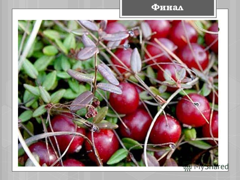 КЛЮКВА Финал Это растение растёт преимущественно на болотах. Плоды этого растения полезны при кашле, ангине, повышенном кровяном давлении. Сок этого растения используют как жаропонижающее средство.