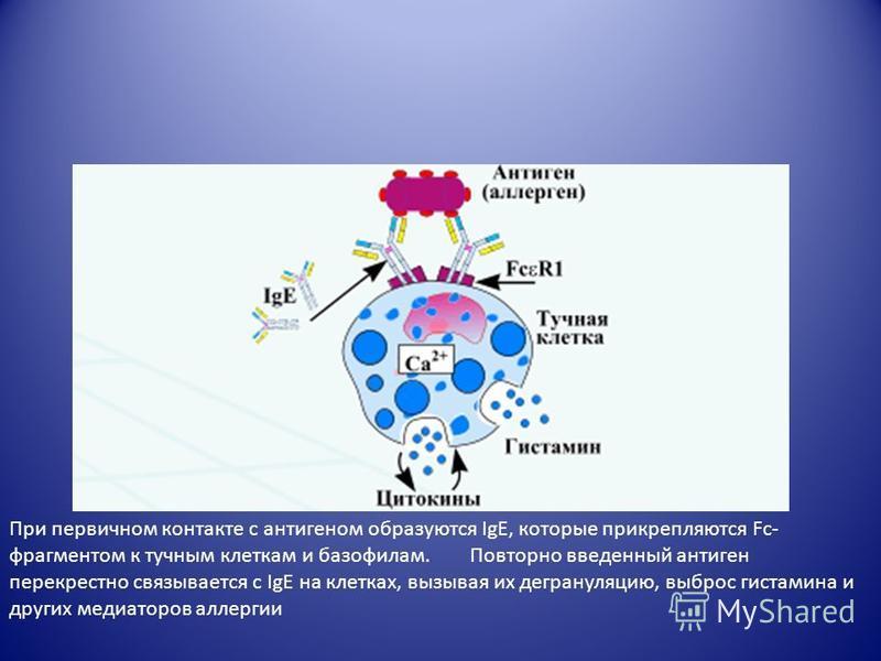 При первичном контакте с антигеном образуются IgE, которые прикрепляются Fc- фрагментом к тучным клеткам и базофилам. Повторно введенный антиген перекрестно связывается с IgE на клетках, вызывая их дегрануляцию, выброс гистамина и других медиаторов а