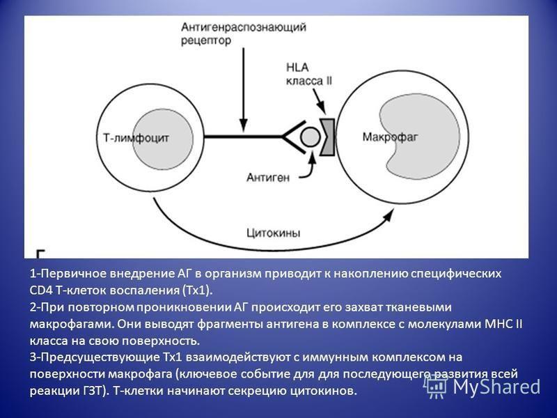 1-Первичное внедрение АГ в организм приводит к накоплению специфических CD4 Т-клеток воспаления (Тх 1). 2-При повторном проникновении АГ происходит его захват тканевыми макрофагами. Они выводят фрагменты антигена в комплексе с молекулами МНС II класс