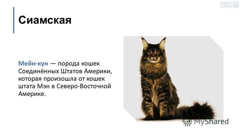 Сиамская Мейн-кун порода кошек Соединённых Штатов Америки, которая произошла от кошек штата Мэн в Северо-Восточной Америке.