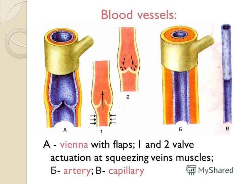 Blood vessels: A - vienna with flaps; 1 and 2 valve actuation at squeezing veins muscles; Б - artery; В - capillary