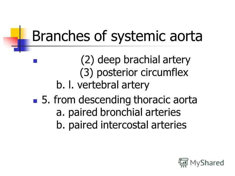 (2) deep brachial artery (3) posterior circumflex b. l. vertebral artery 5. from descending thoracic aorta a. paired bronchial arteries b. paired intercostal arteries Branches of systemic aorta