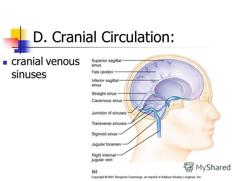 D. Cranial Circulation: cranial venous sinuses