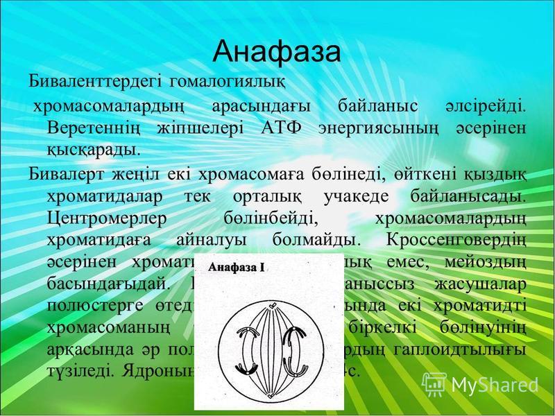 Анафаза Биваленттердегі гомалогиялық хромосомалардың арасындағы байланыс әлсірейді. Веретеннің жіпшелері АТФ энергиясының әсерінен қысқарады. Бивалерт жеңіл екі хромосомаға бөлінеді, өйткені қыздық хроматидалар тек орталық учакеде байланысады. Центро