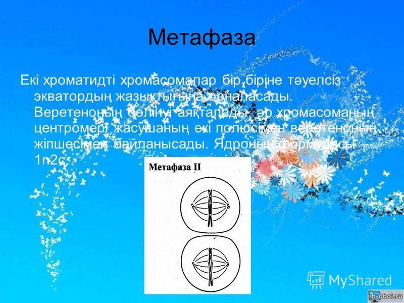Метафаза Екі хроматидті хромосомалар бір біріне тәуелсіз экватордың жазықтығына орналасады. Веретеноның бөлінуі аяқталады, әр хромосоманың центромері жасушаның екі полюсімен веретеноның жіпшесімен байланысады. Ядроның формуласы – 1n2c.