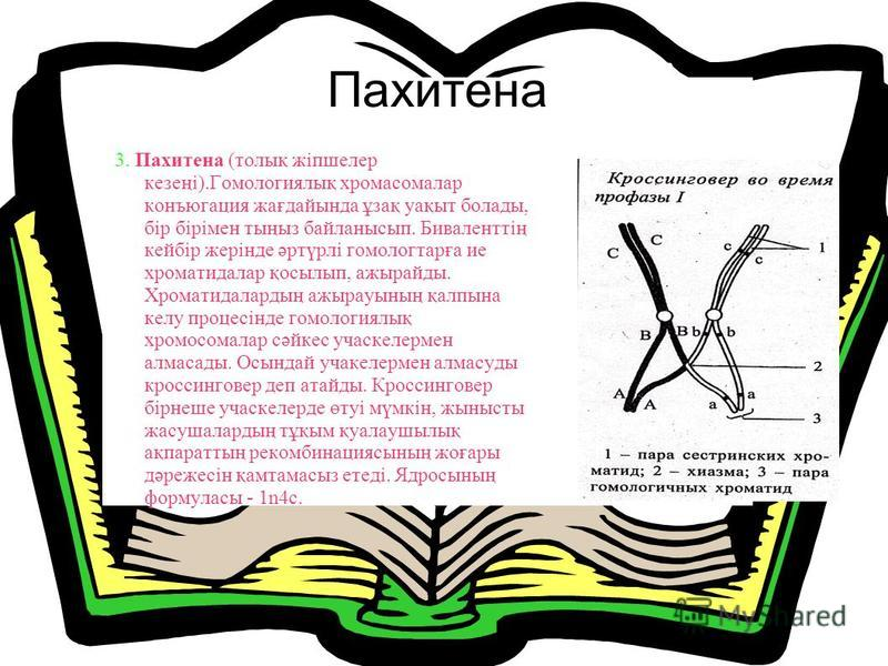 Пахитена 3. Пахитена (толық жіпшелер кезеңі).Гомологиялық хромосомалар конъюгация жағдайында ұзақ уақыт болады, бір бірімен тыңыз байланысып. Биваленттің кейбір жерінде әртүрлі гомологтарға ие хроматидалар қосылып, ажырайды. Хроматидалардың ажырауыны