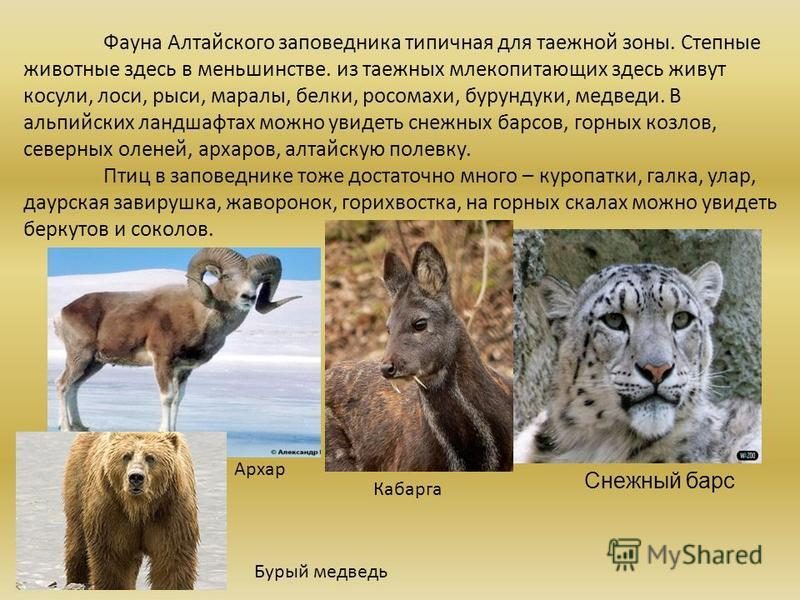 Фауна Алтайского заповедника типичная для таежной зоны. Степные животные здесь в меньшинстве. из таежных млекопитающих здесь живут косули, лоси, рыси, маралы, белки, росомахи, бурундуки, медведи. В альпийских ландшафтах можно увидеть снежных барсов,