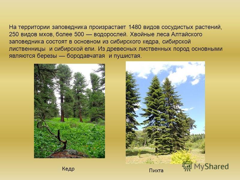 На территории заповедника произрастает 1480 видов сосудистых растений, 250 видов мхов, более 500 водорослей. Хвойные леса Алтайского заповедника состоят в основном из сибирского кедра, сибирской лиственницы и сибирской ели. Из древесных лиственных по