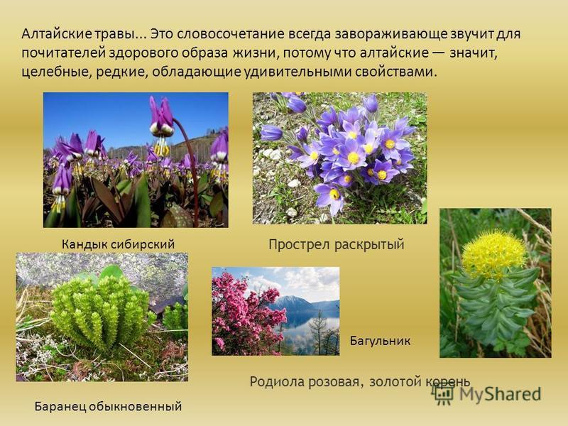Алтайские травы... Это словосочетание всегда завораживающе звучит для почитателей здорового образа жизни, потому что алтайские значит, целебные, редкие, обладающие удивительными свойствами. Кандык сибирский Прострел раскрытый Родиола розовая, золотой