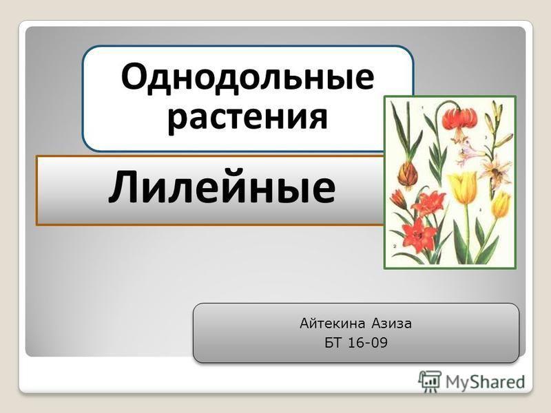 Однодольные растения Лилейные Айтекина Азиза БТ 16-09 Айтекина Азиза БТ 16-09