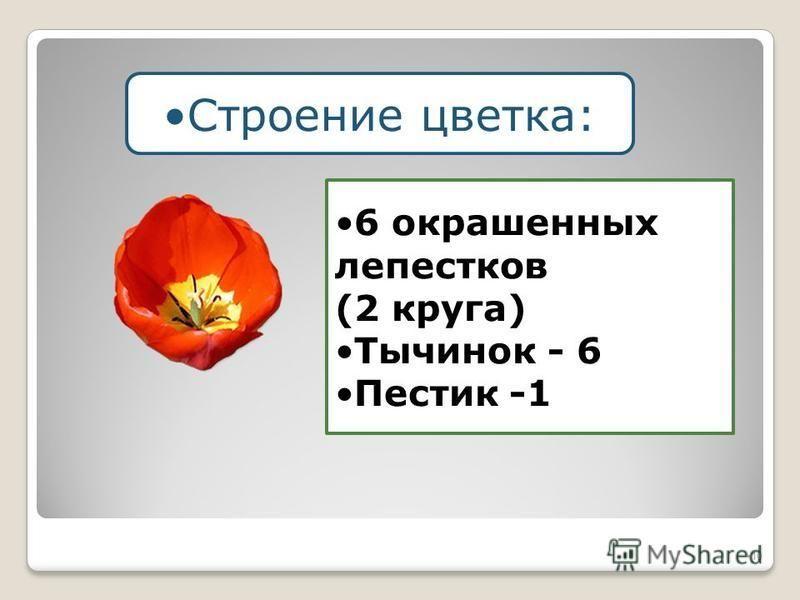 10 Строение цветка: 6 окрашенных лепестков (2 круга) Тычинок - 6 Пестик -1