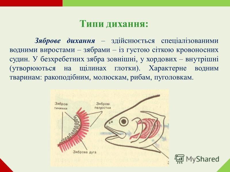 Типи дихання: Зяброве дихання – здійснюється спеціалізованими водними виростами – зябрами – із густою сіткою кровоносних судин. У безхребетних зябра зовнішні, у хордових – внутрішні (утворюються на щілинах глотки). Характерне водним тваринам: ракопод