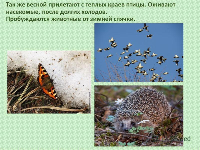 Так же весной прилетают с теплых краев птицы. Оживают насекомые, после долгих холодов. Пробуждаются животные от зимней спячки.