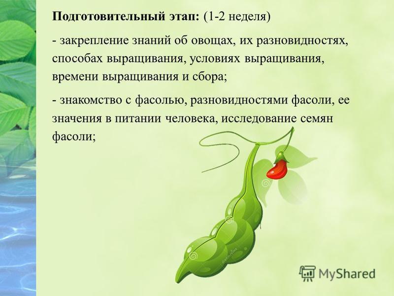 Подготовительный этап: (1-2 неделя) - закрепление знаний об овощах, их разновидностях, способах выращивания, условиях выращивания, времени выращивания и сбора; - знакомство с фасолью, разновидностями фасоли, ее значения в питании человека, исследован