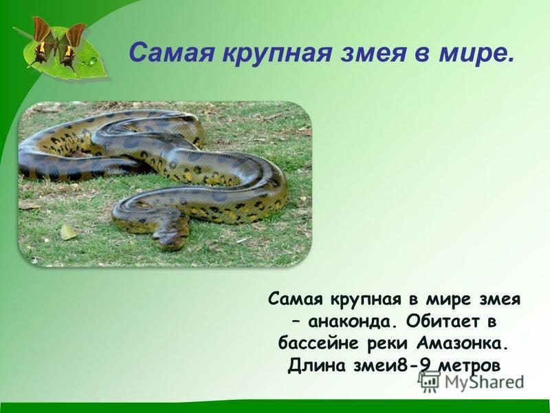 Самая крупная змея в мире. Самая крупная в мире змея – анаконда. Обитает в бассейне реки Амазонка. Длина змеи 8-9 метров