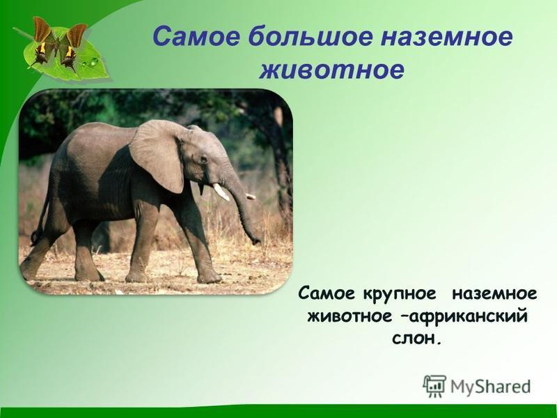 Самое большое наземное животное Самое крупное наземное животное –африканский слон.