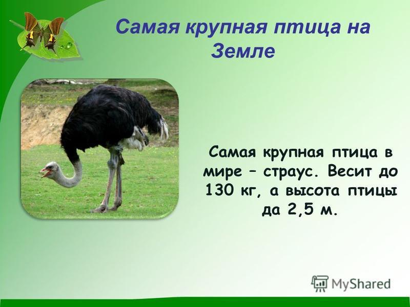 Самая крупная птица на Земле Самая крупная птица в мире – страус. Весит до 130 кг, а высота птицы да 2,5 м.