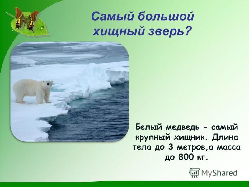 Самый большой хищный зверь? Белый медведь - самый крупный хищник. Длина тела до 3 метров,а масса до 800 кг.