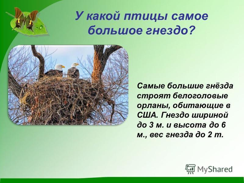 У какой птицы самое большое гнездо? Самые большие гнёзда строят белоголовые орланы, обитающие в США. Гнездо шириной до 3 м. и высота до 6 м., вес гнезда до 2 т.