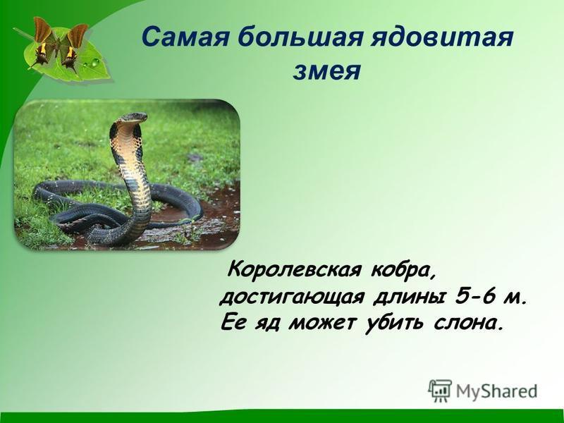 Самая большая ядовитая змея Королевская кобра, достигающая длины 5-6 м. Ее яд может убить слона.