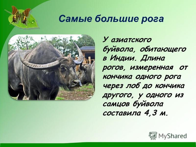 Самые большие рога У азиатского буйвола, обитающего в Индии. Длина рогов, измеренная от кончика одного рога через лоб до кончика другого, у одного из самцов буйвола составила 4,3 м.
