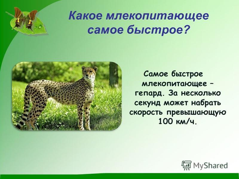 Какое млекопитающее самое быстрое? Самое быстрое млекопитающее – гепард. За несколько секунд может набрать скорость превышающую 100 км/ч.