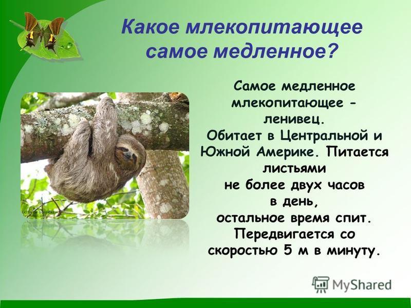 Какое млекопитающее самое медленное? Самое медленное млекопитающее - ленивец. Обитает в Центральной и Южной Америке. Питается листьями не более двух часов в день, остальное время спит. Передвигается со скоростью 5 м в минуту.