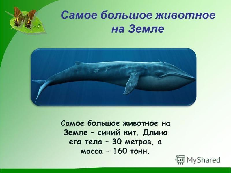 Самое большое животное на Земле Самое большое животное на Земле – синий кит. Длина его тела – 30 метров, а масса – 160 тонн.