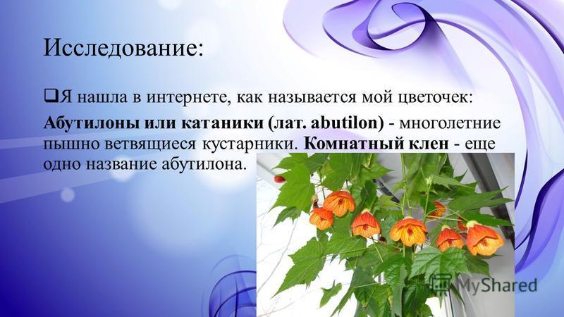 Исследование: Я нашла в интернете, как называется мой цветочек: Абутилоны или катании (лат. abutilon) - многолетние пышно ветвящиеся кустарники. Комнатный клен - еще одно название абутилона.