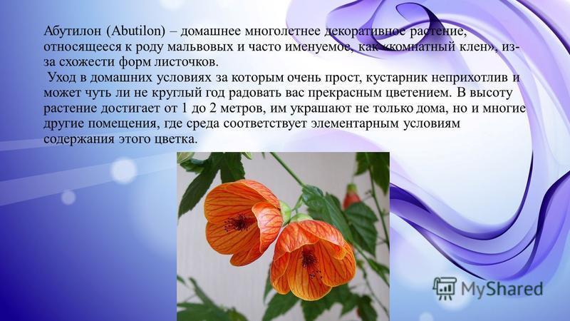 Абутилон (Abutilon) – домашнее многолетнее декоративное растение, относящееся к роду мальвовых и часто именуемое, как «комнатный клен», из- за схожести форм листочков. Уход в домашних условиях за которым очень прост, кустарник неприхотлив и может чут