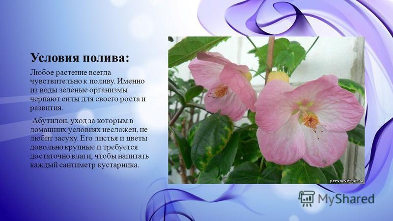 Условия полива: Любое растение всегда чувствительно к поливу. Именно из воды зеленые организмы черпают силы для своего роста и развития. Абутилон, уход за которым в домашних условиях несложен, не любит засуху. Его листья и цветы довольно крупные и тр