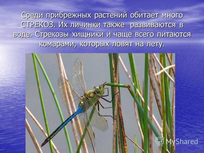 Среди прибрежных растений обитает много СТРЕКОЗ. Их личинки также развиваются в воде. Стрекозы хищники и чаще всего питаются комарами, которых ловят на лету.