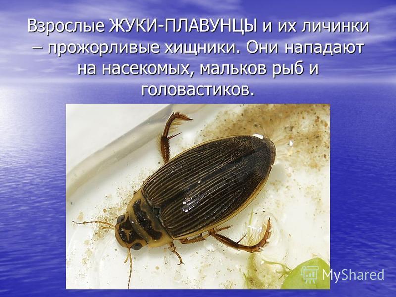 Взрослые ЖУКИ-ПЛАВУНЦЫ и их личинки – прожорливые хищники. Они нападают на насекомых, мальков рыб и головастиков.