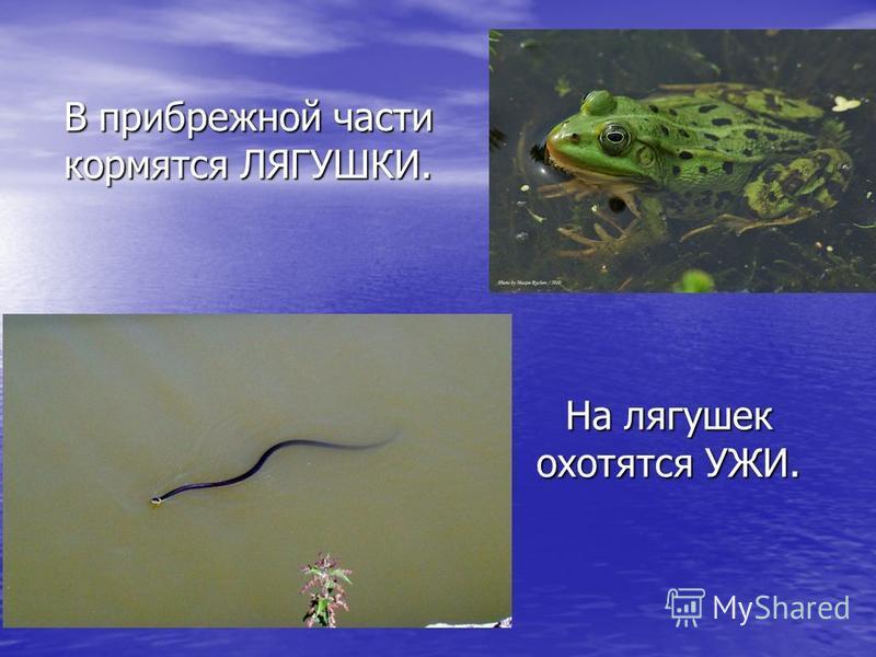 В прибрежной части кормятся ЛЯГУШКИ. На лягушек охотятся УЖИ.