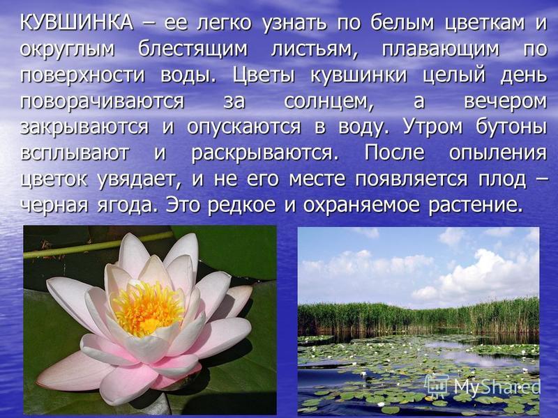 КУВШИНКА – ее легко узнать по белым цветкам и округлым блестящим листьям, плавающим по поверхности воды. Цветы кувшинки целый день поворачиваются за солнцем, а вечером закрываются и опускаются в воду. Утром бутоны всплывают и раскрываются. После опыл