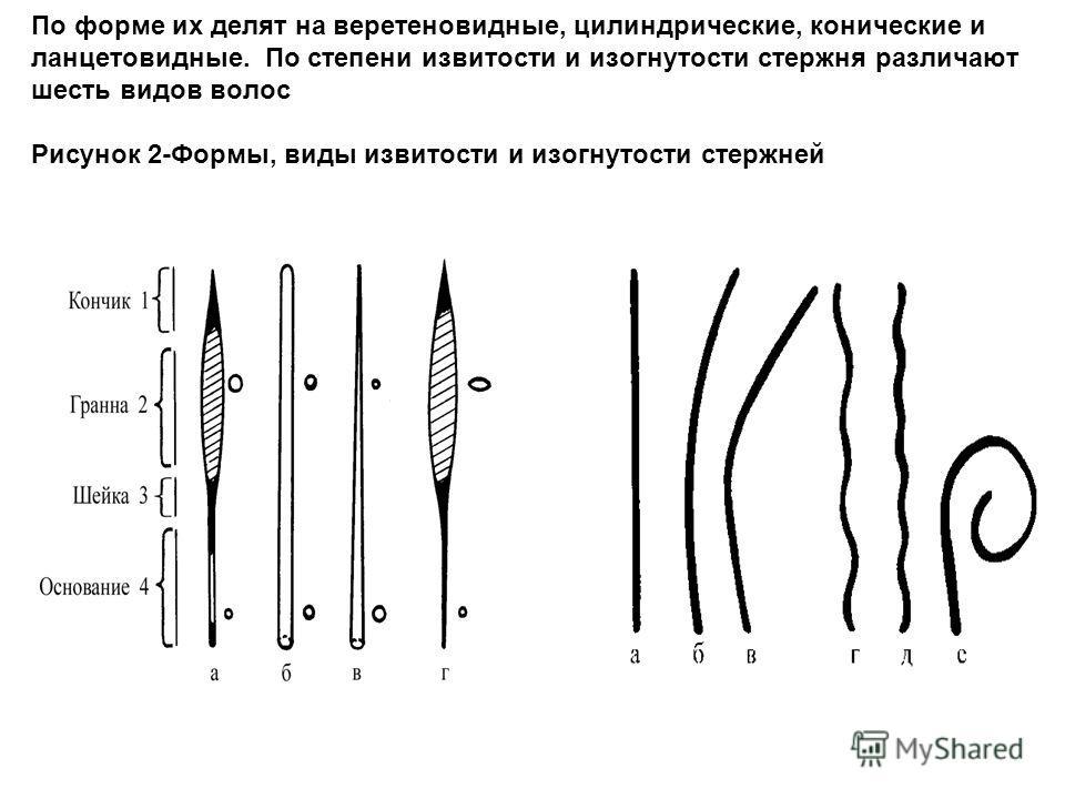 По форме их делят на веретеновидные, цилиндрические, конические и ланцетовидные. По степени извитости и изогнутости стержня различают шесть видов волос Рисунок 2-Формы, виды извитости и изогнутости стержней