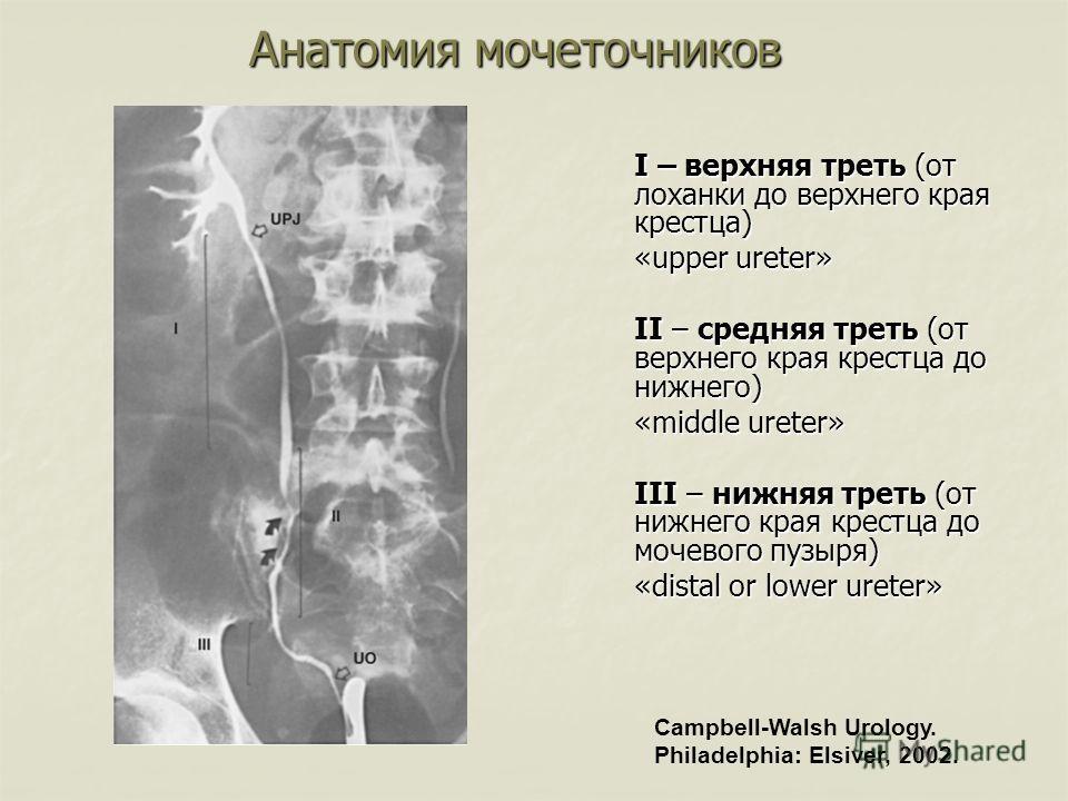 Анатомия мочеточников I – верхняя треть (от лоханки до верхнего края крестца) «upper ureter» II – средняя треть (от верхнего края крестца до нижнего) «middle ureter» III – нижняя треть (от нижнего края крестца до мочевого пузыря) «distal or lower ure